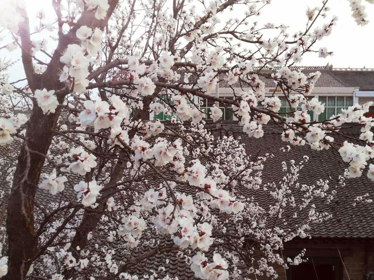 农家二月落杏花